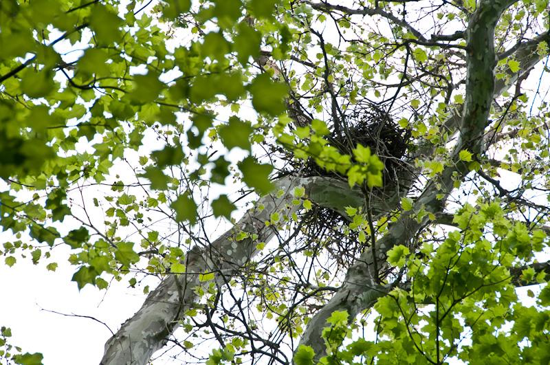 Redtail-Hawks-Nest